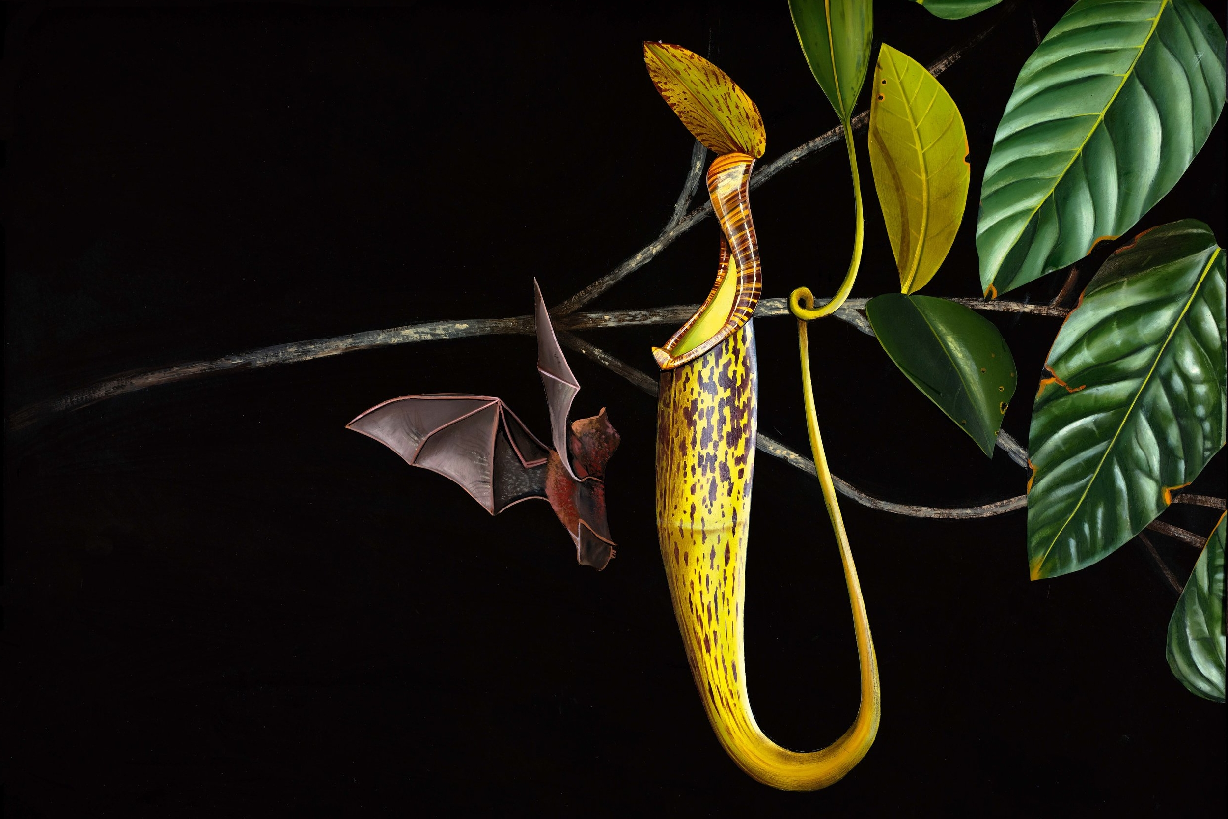 Nepenthes hemsleyana : home to bats. Painting by Chris Thorogood from his book  Weird Plants .