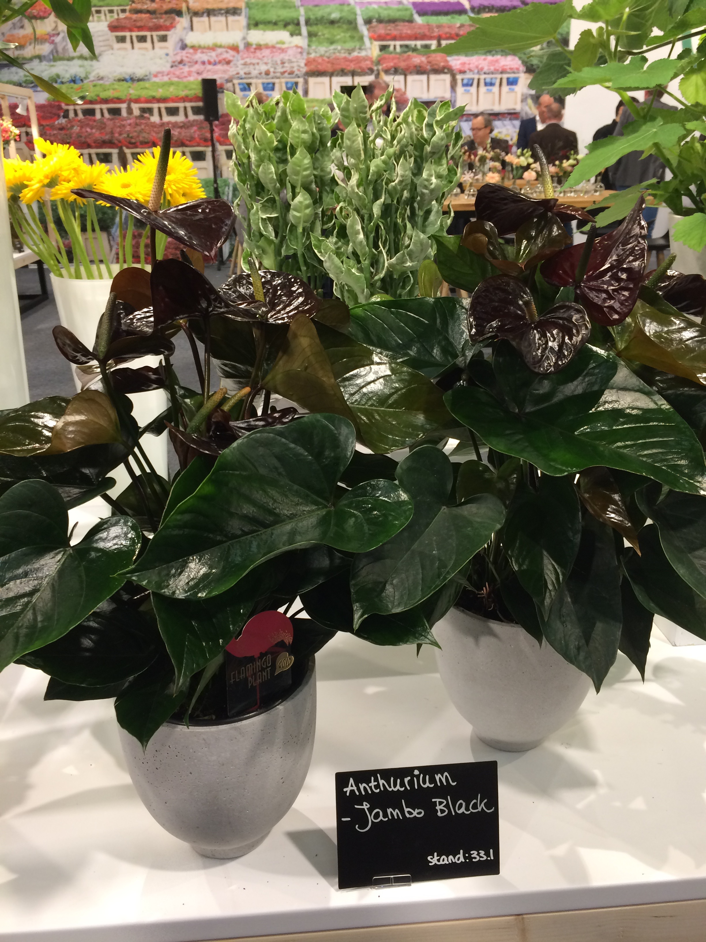 Anthurium 'Jambo Black'