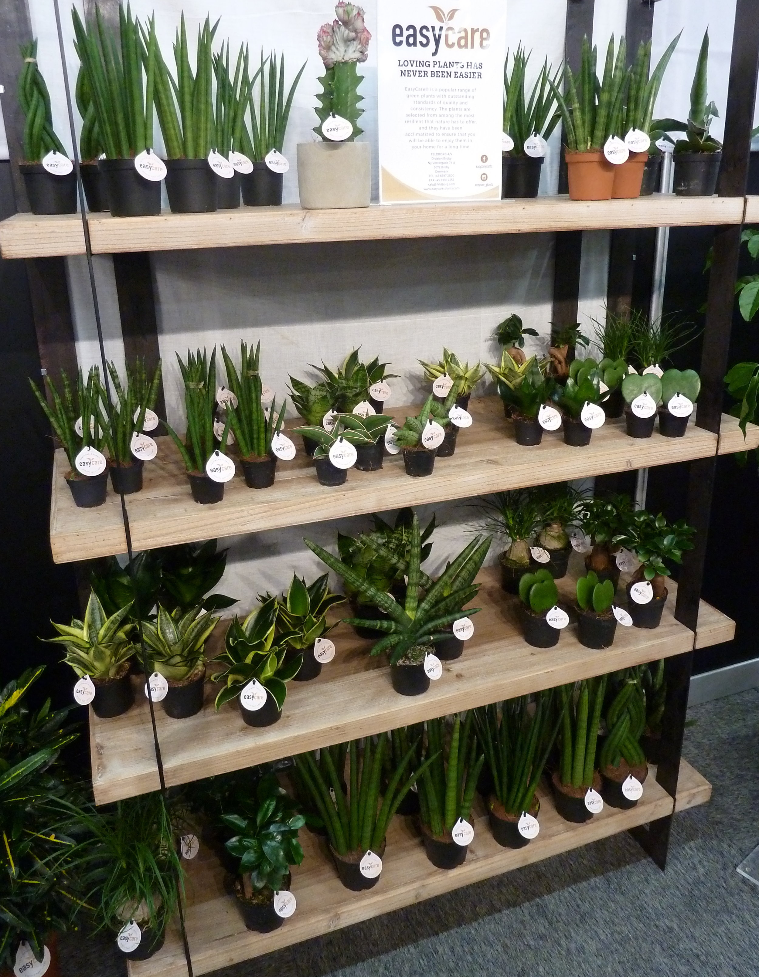 Sansevierias on display