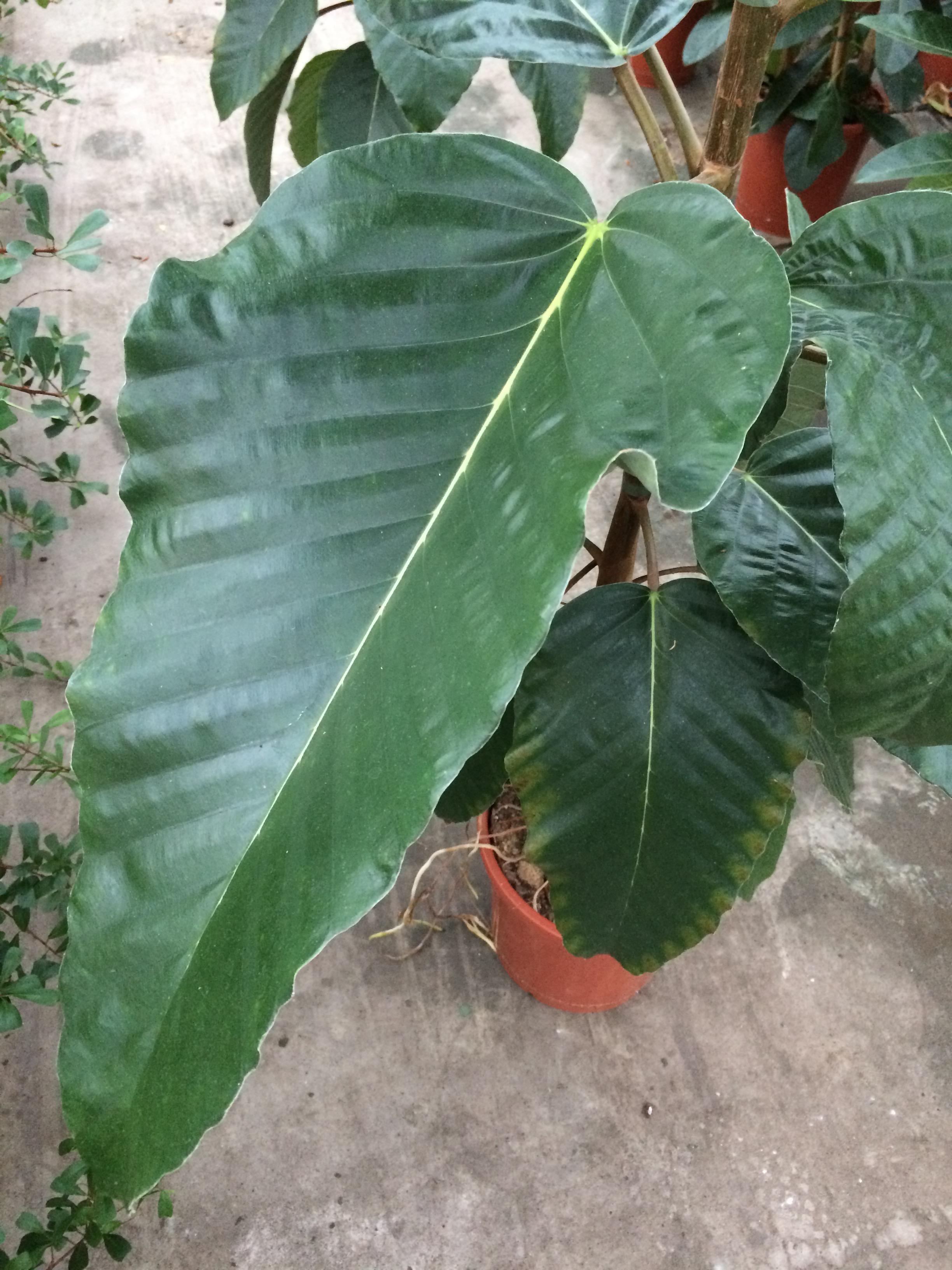 Ficus 'Adam'
