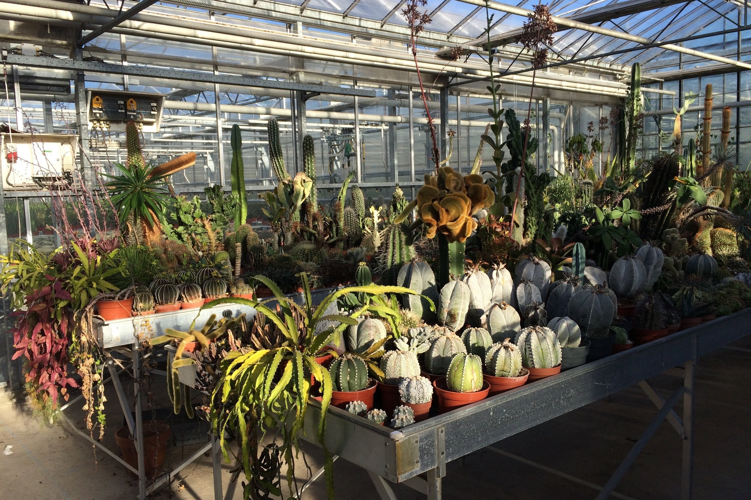 The benches for possible new cultivars at Ubink nursery… feat your eyes! Photograph: Jane Perrone