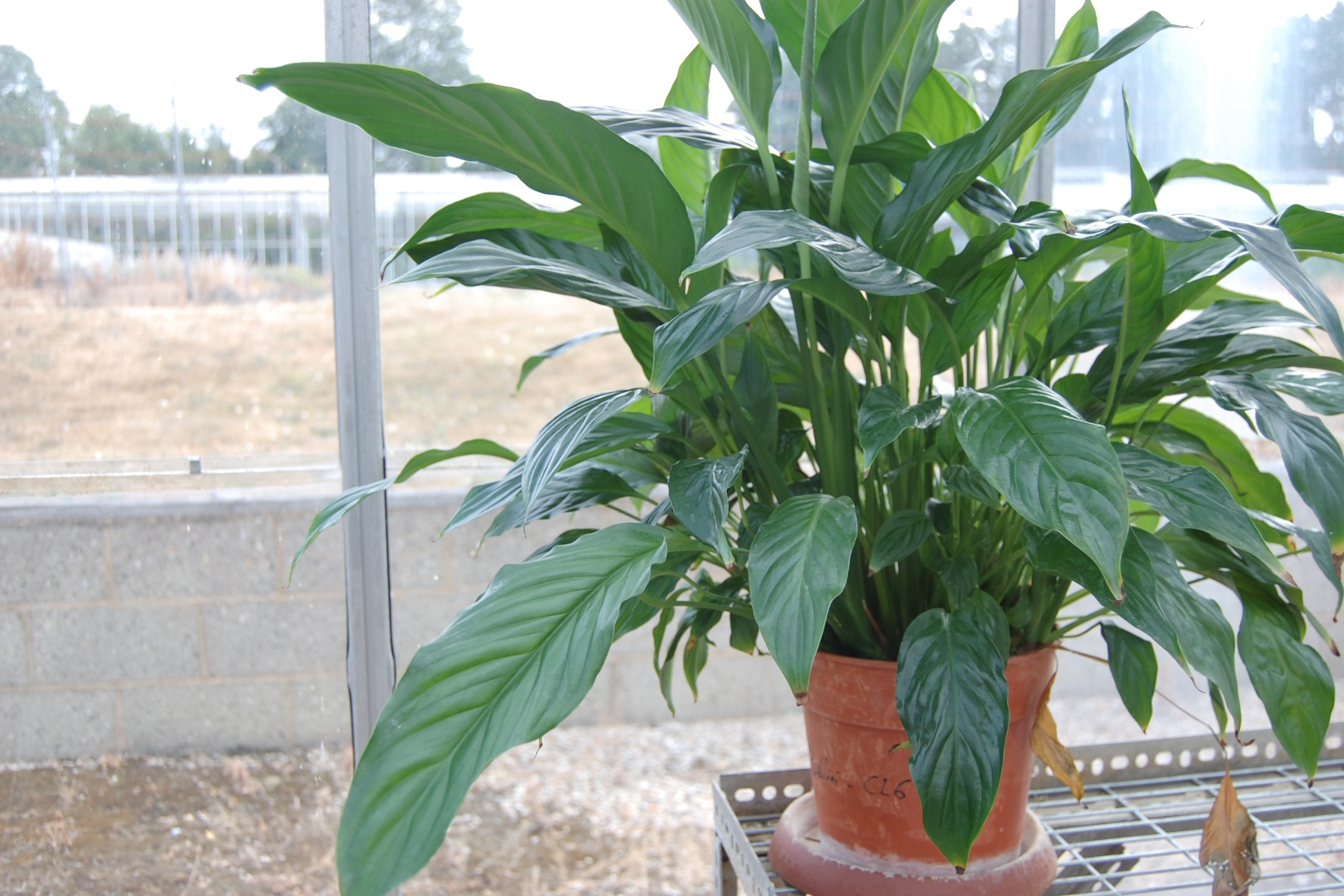 Spathiphyllums (peace lilies) are one of the best plants for removing CO2 and pollutants from the air. Photograph Curtis Gubb.