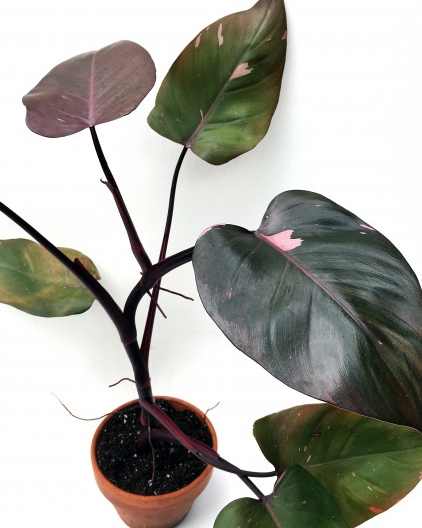 A reverted Philodendron 'Pink Princess' on sale at Logees (but out of stock at time of publication). Take a look at their  non-reverted 'Pink Princess'  for comparison purposes.