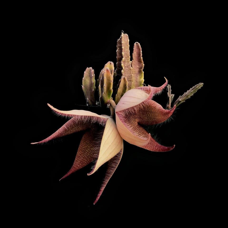 Stapelia gigantea   . Photograph: Filipa Domingues of  @checkmyplants .
