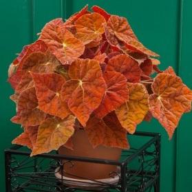 Logees hybrid  Begonia  'Autumn ember'.