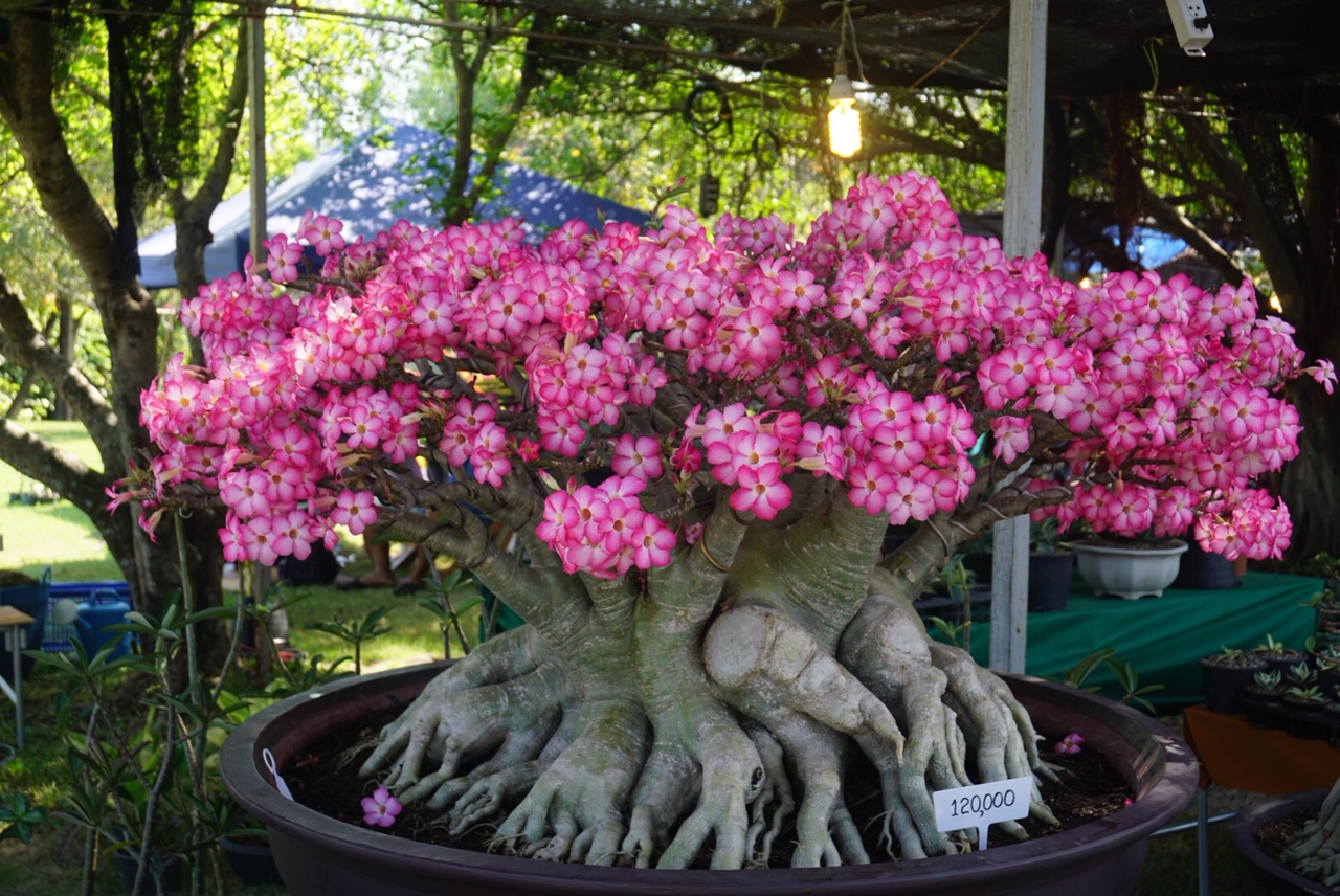 An Adenium on display in Thailand