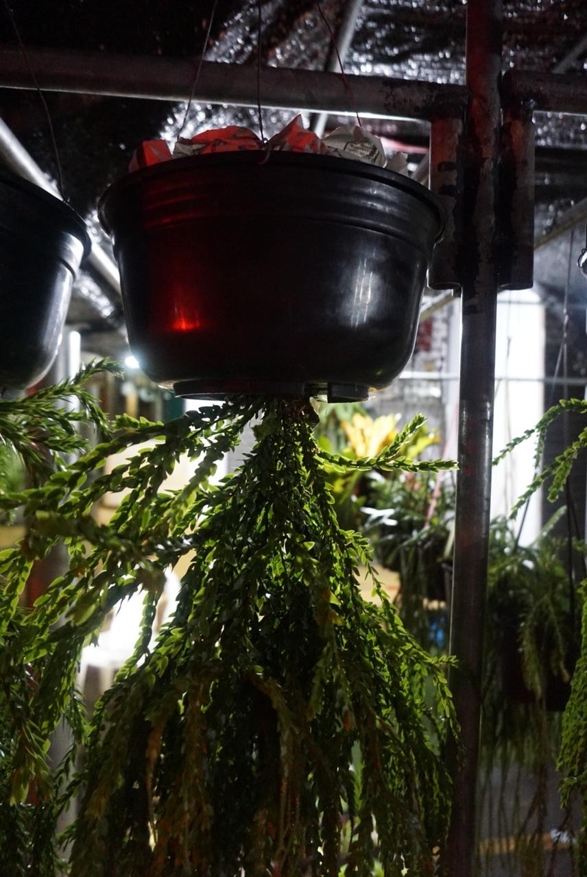 A tassel fern growing upside down