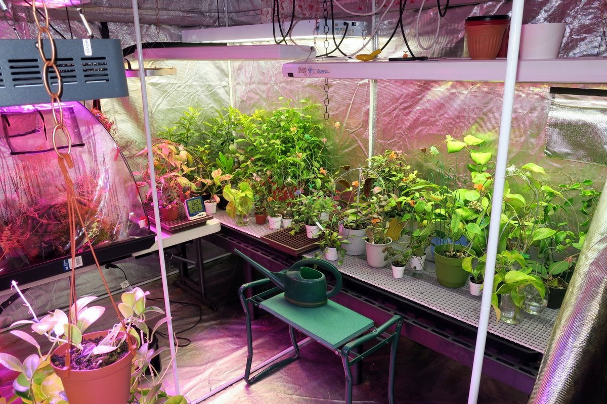 Some Hoyas that require higher humidity than is available in most homes can be grown in a grow tent. Photograph: Doug Chamberlain.