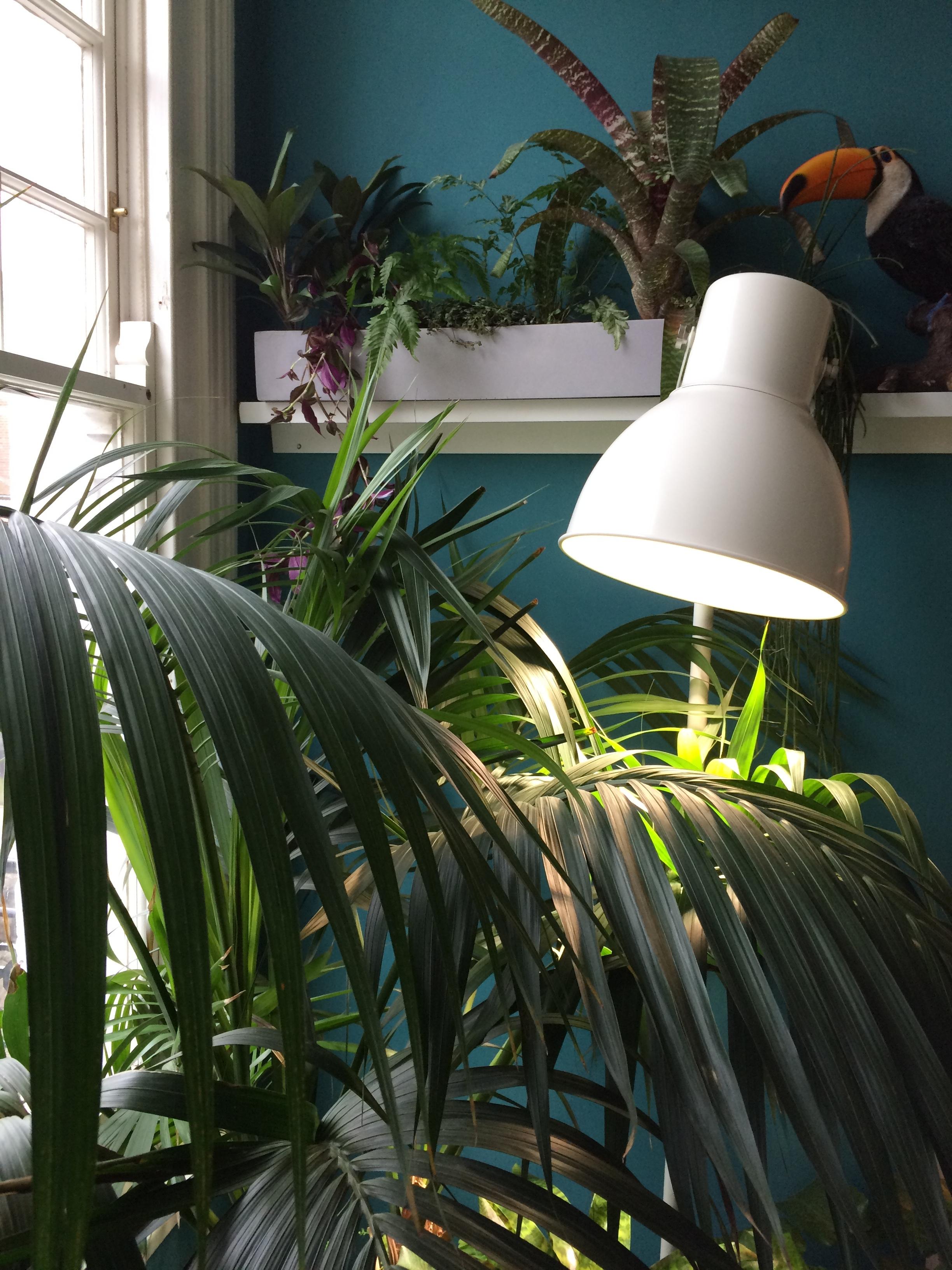 Kentia palm lit by an IKEA growlight