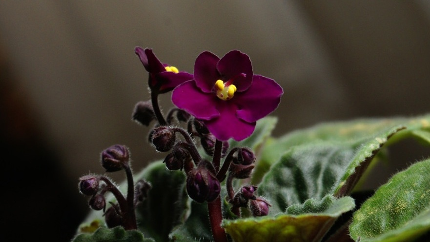 An African violet starts to bloom. Photograph:  marimbajlamesa  on  Flickr .