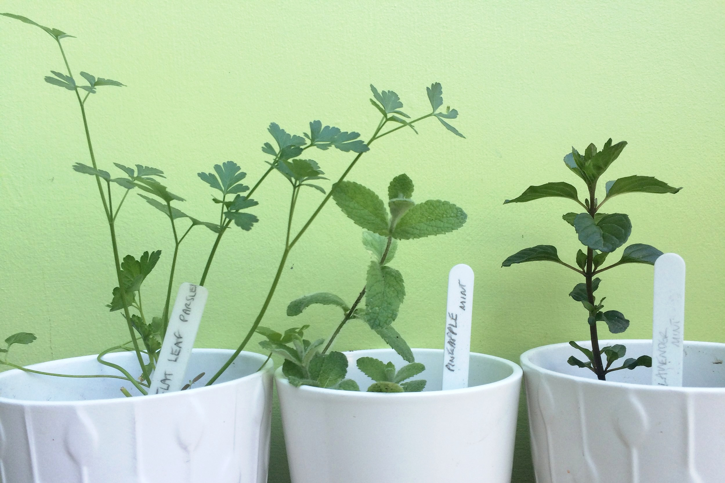 Herbs in pots: (from left) flat leaf parsley, pineapple mint and lavender mint. Photograph: Jane Perrone.