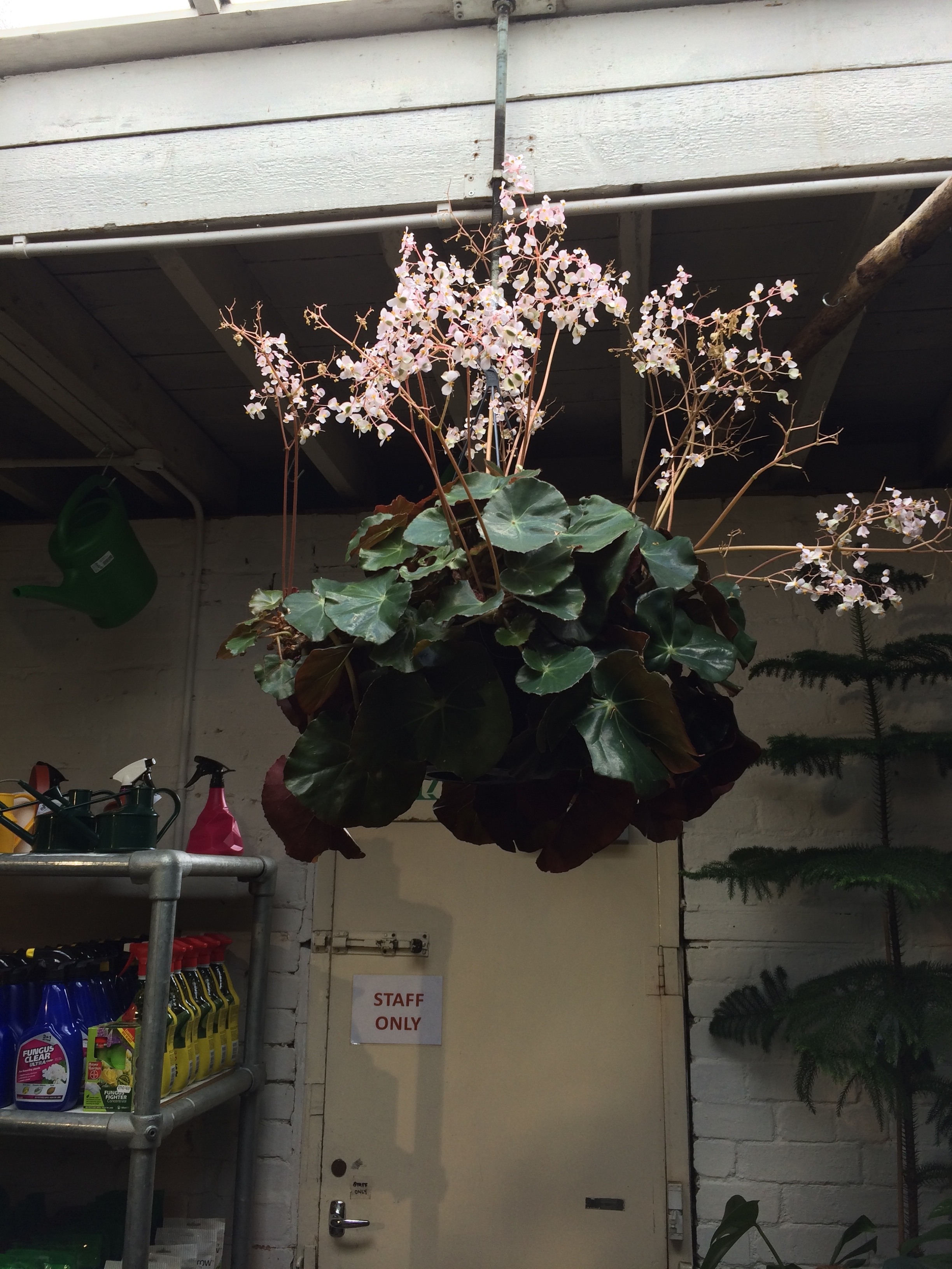 Beefsteak begonia on display on the shop floor at N1.