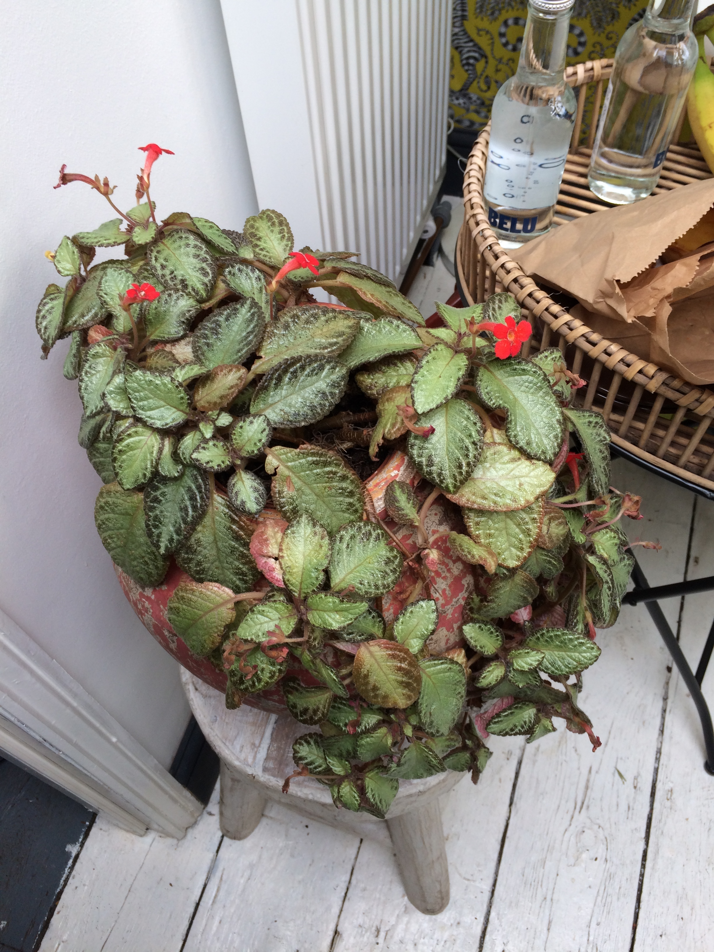 An episcia in Paul Holt's office.