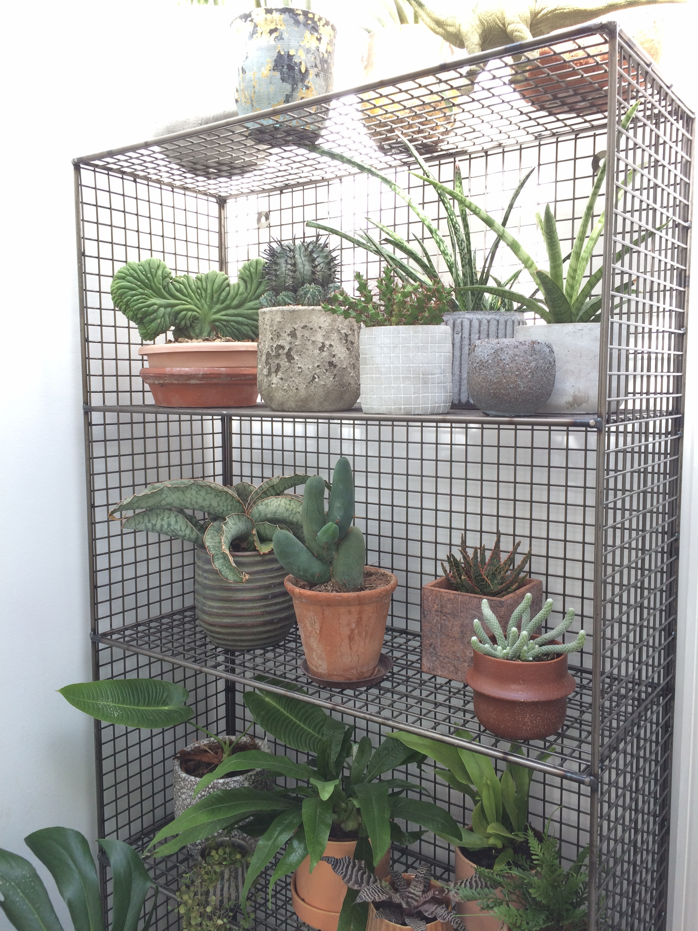 Succulent shelves in Paul Holt's office.