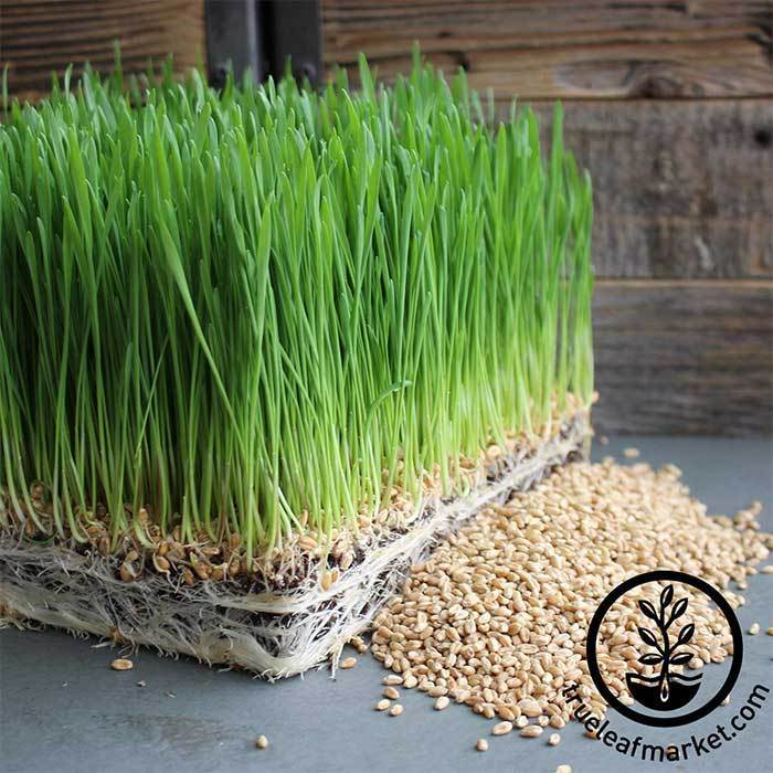 True Leaf Market's range of  wheatgrass seeds and growing kits  will get you set up in no time.