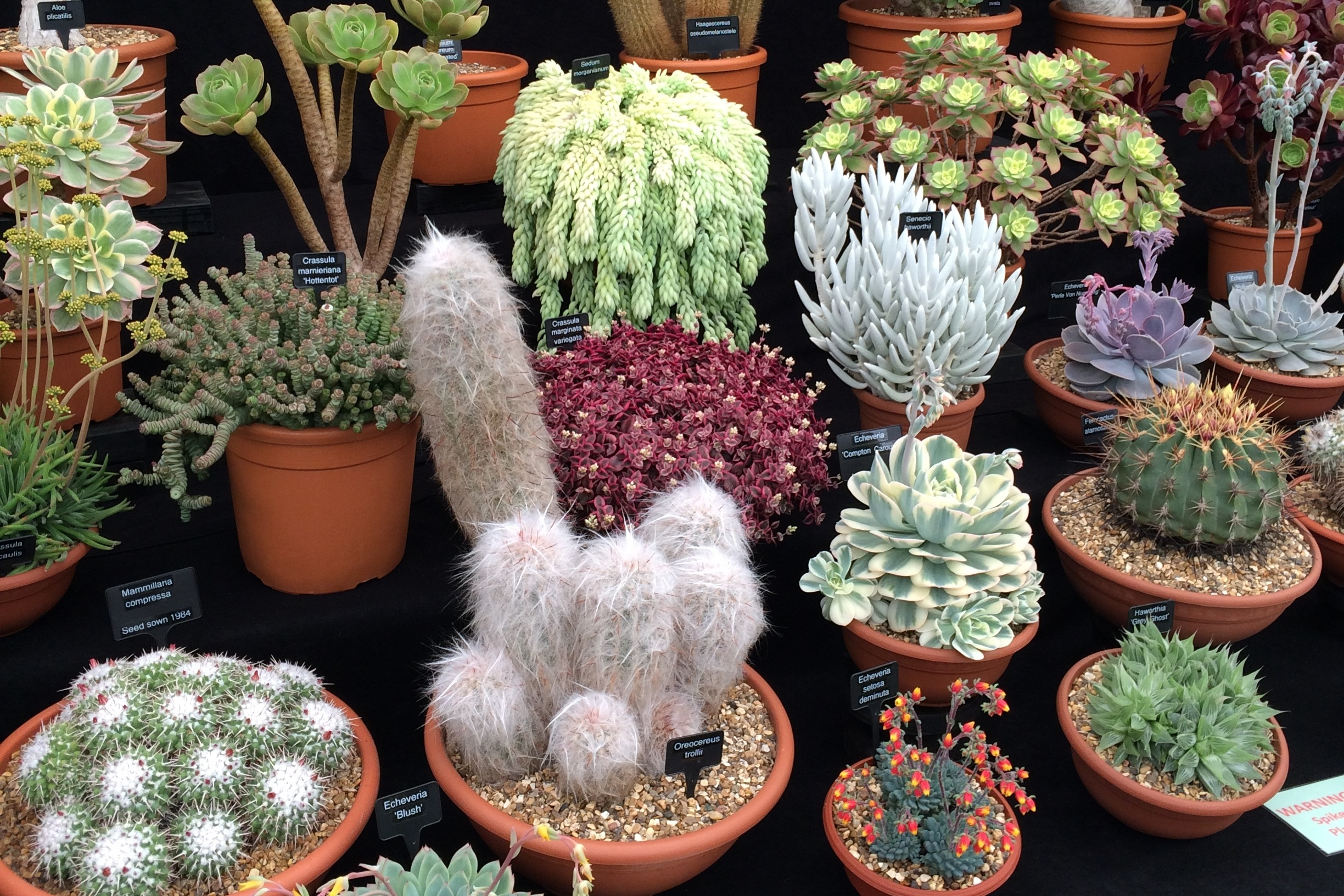 Ottershaw Cacti display at the Chelsea flower show 2019. Photograph: Jane Perrone.