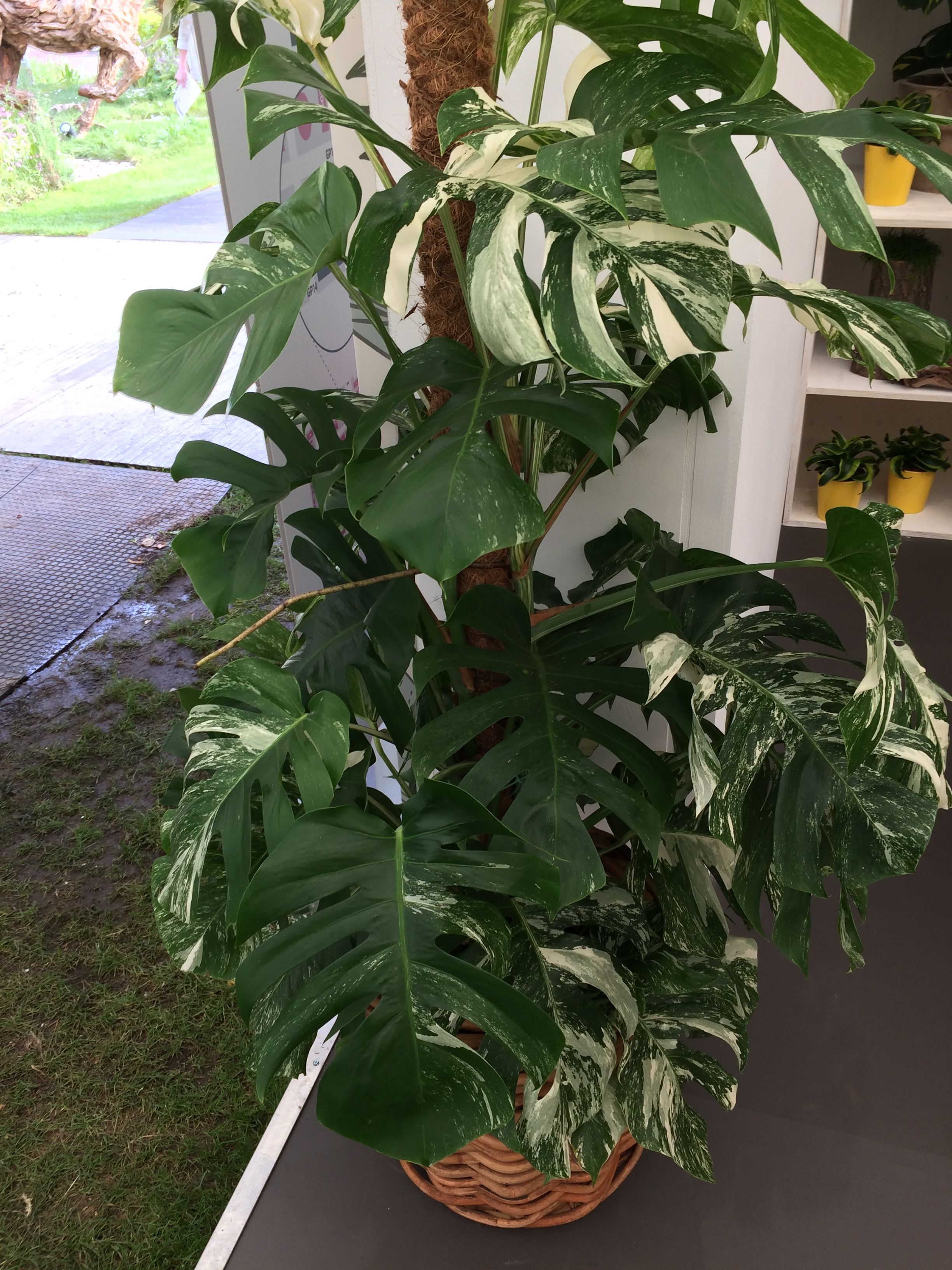A variegated Monstera at Chelsea