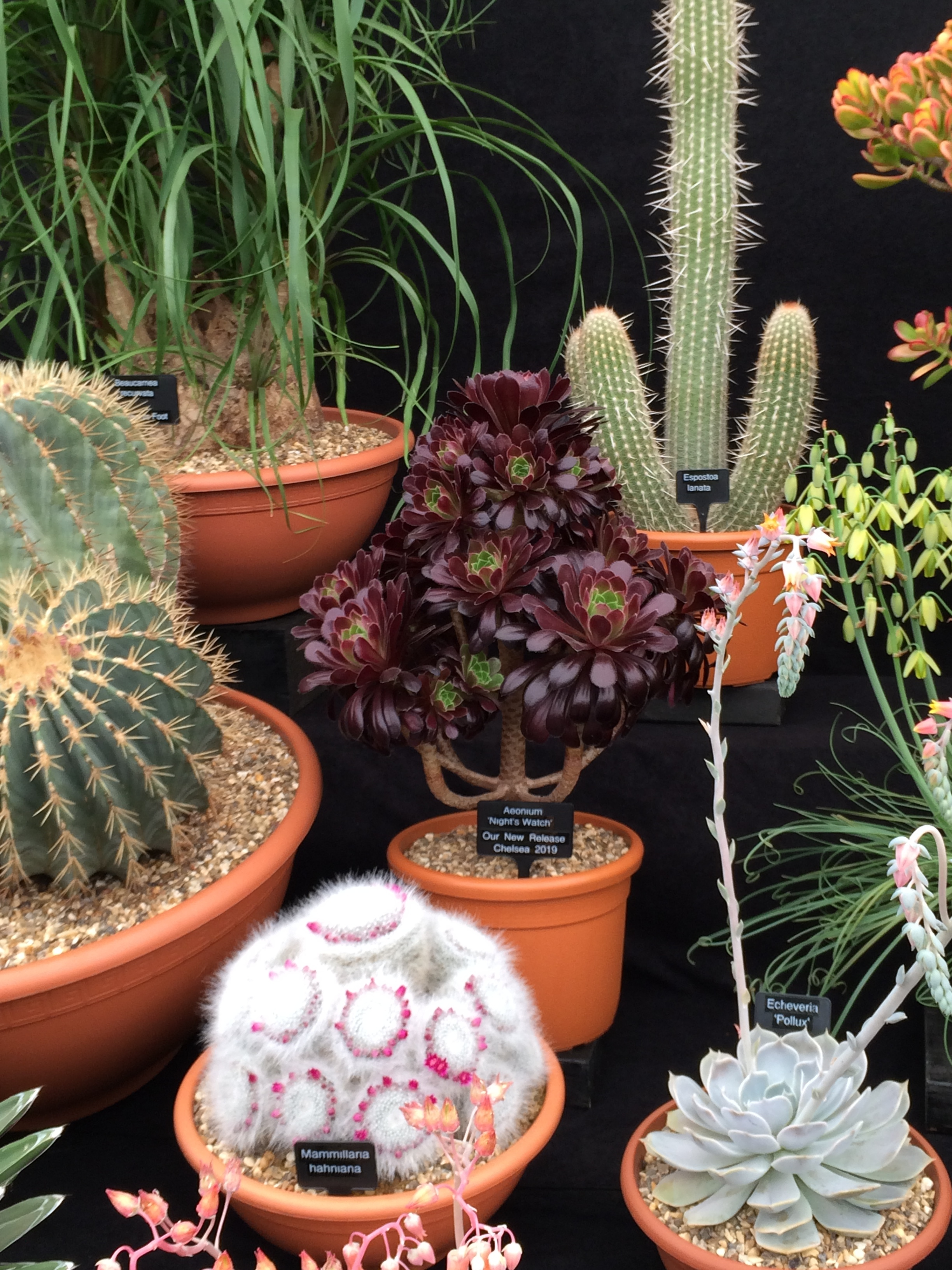 Aeonium 'Night's Watch' on the Ottershaw Cacti stand