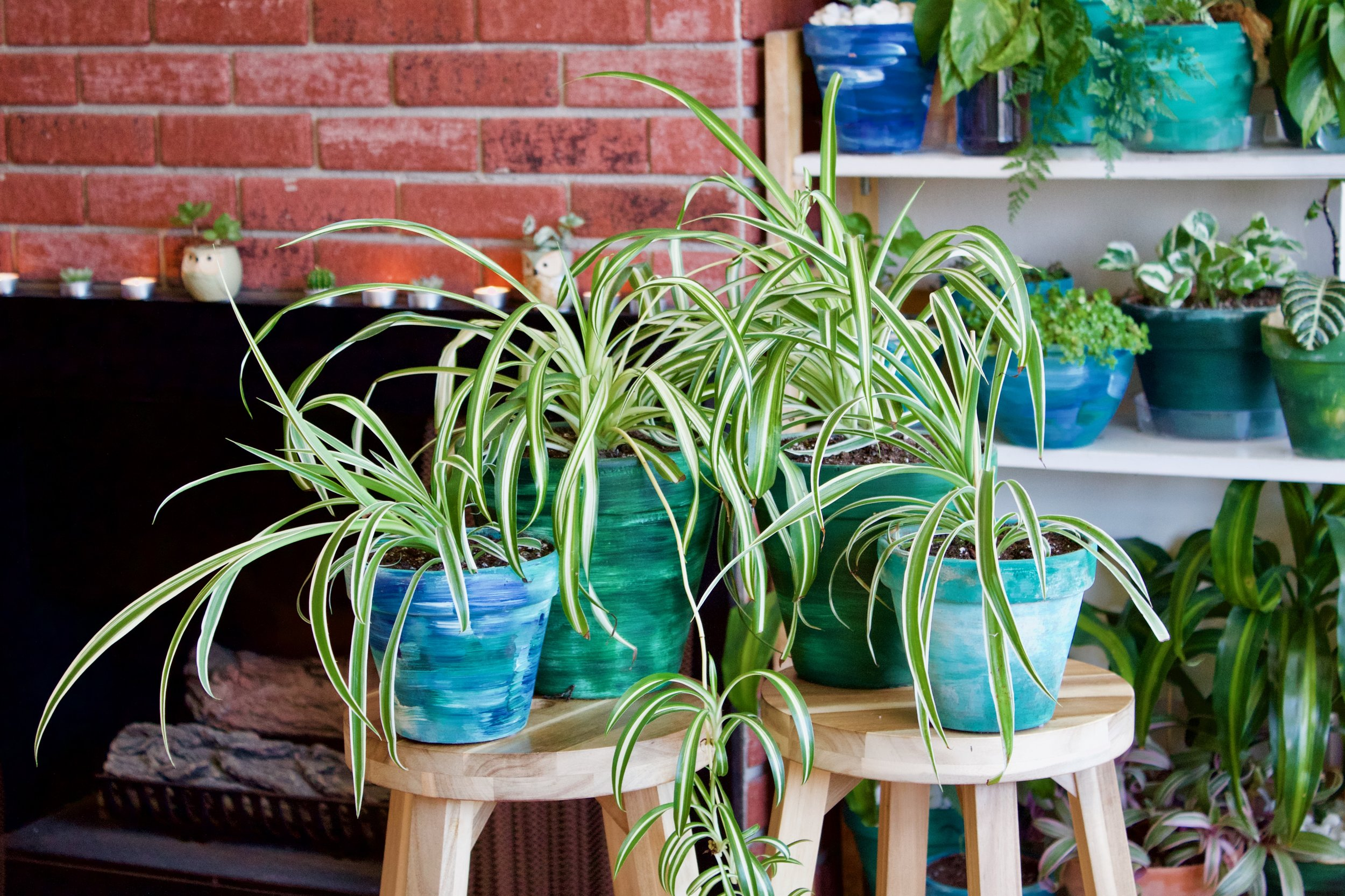 A web of spider plants. Photograph: Sam Pascale.