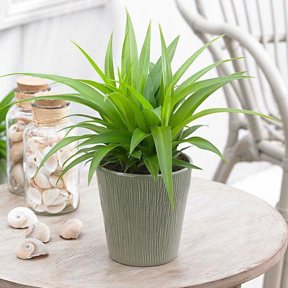 Episode 101: the spider plant aka Chlorophytum comosum