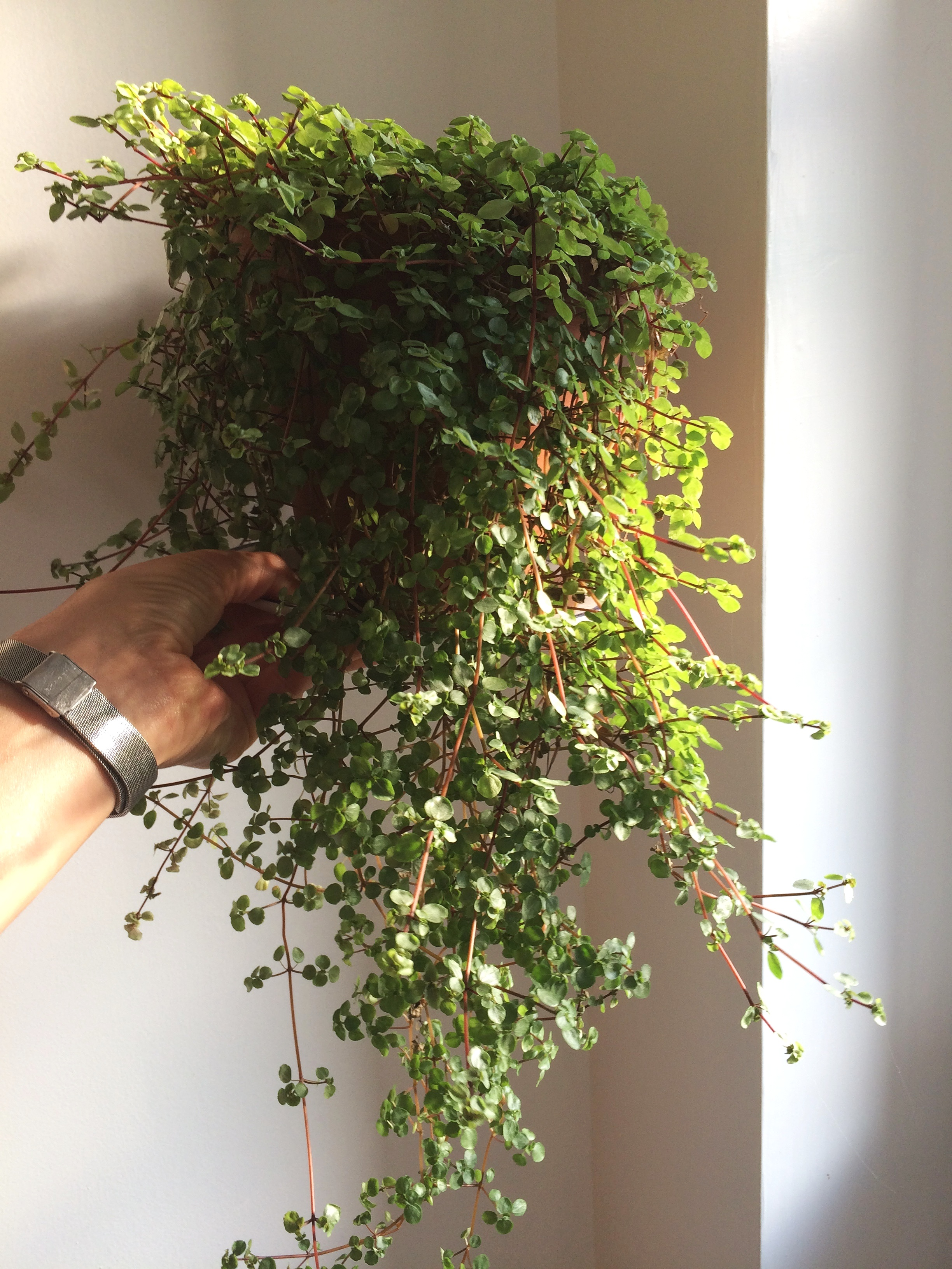 My  Pilea libanensis , as mentioned in episode 99. Photograph: Jane Perrone
