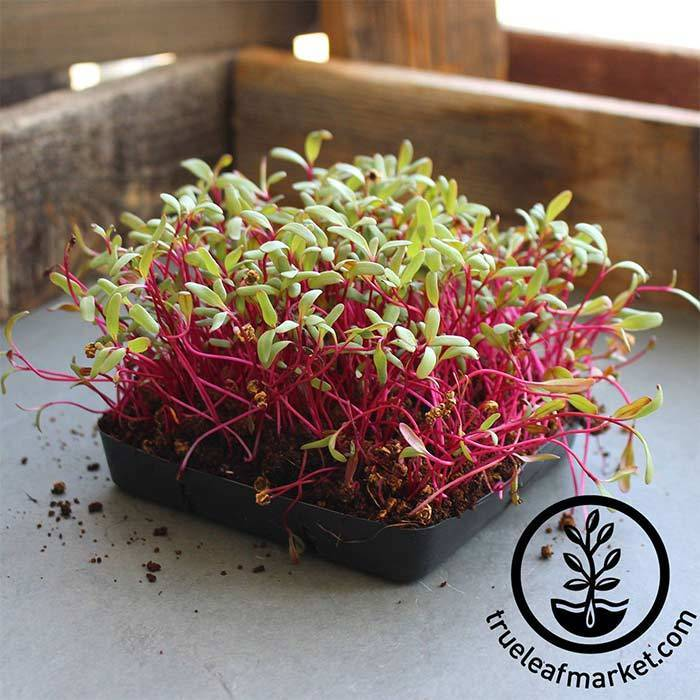Beet 'Red Detroit' microgreens seeds from  True Leaf Market.