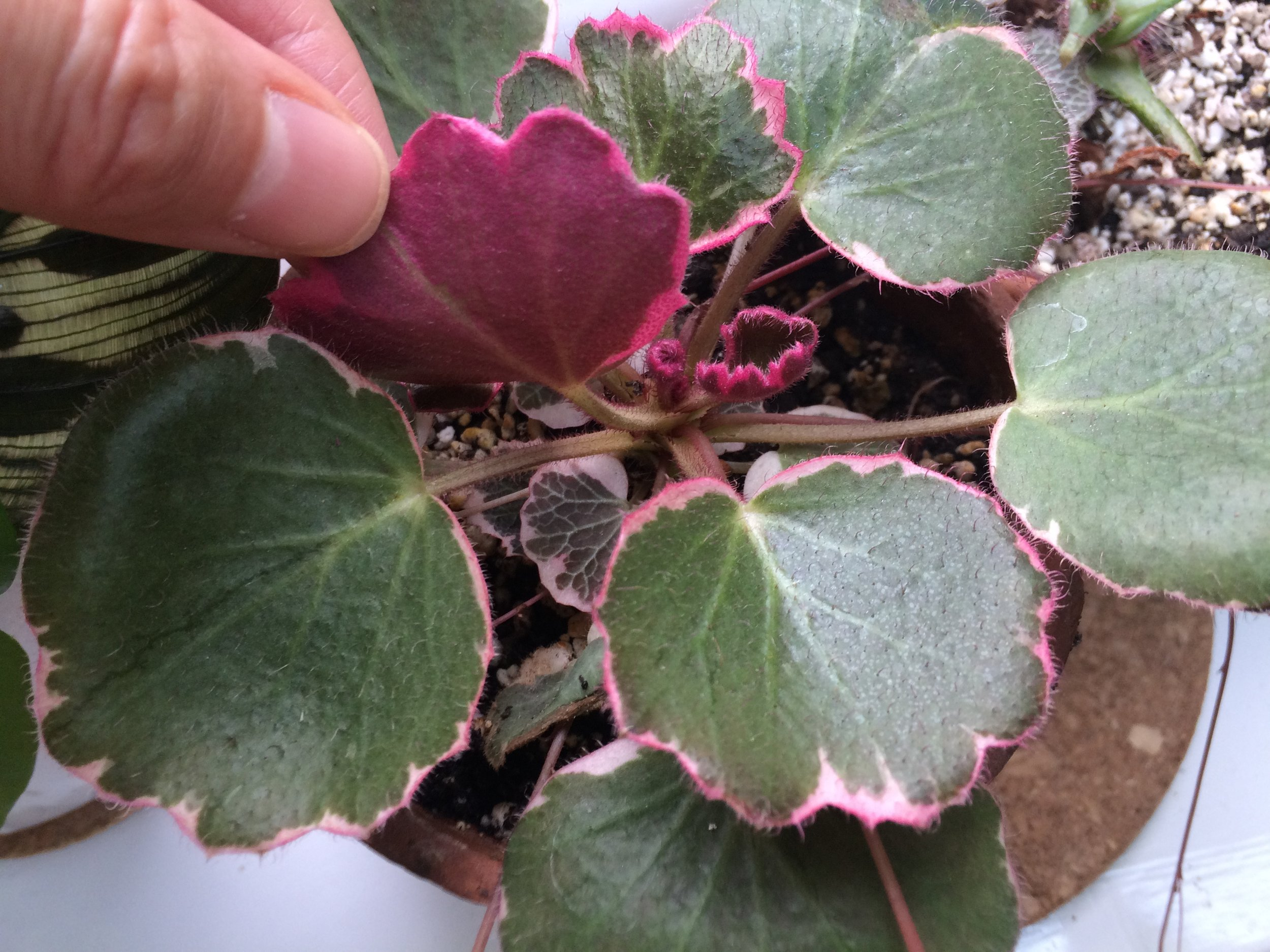 Pink leaf undersides on  Saxifraga stolonifera  'Tricolor'. Photograph: Jane Perrone