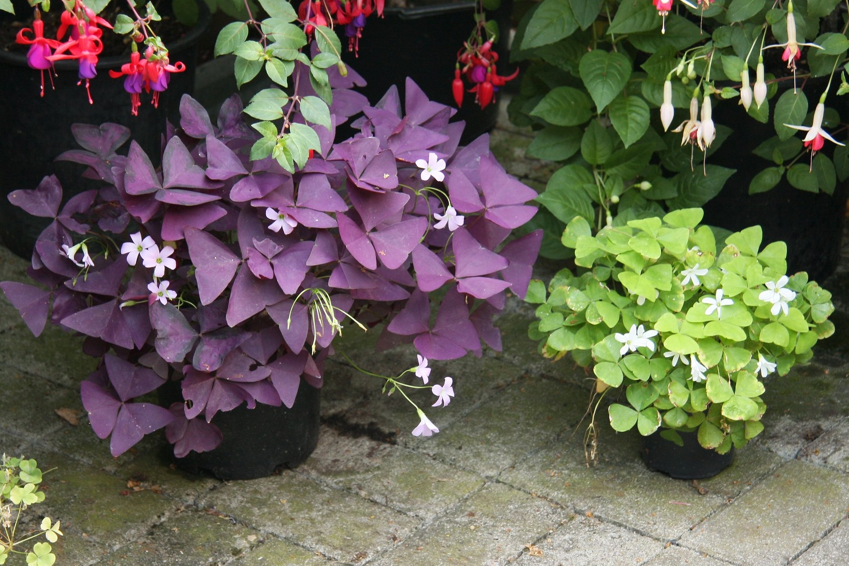 Oxalis triangularis  comes in a purple and a green form. Photograph:  Maja Dumat  on  Flickr .