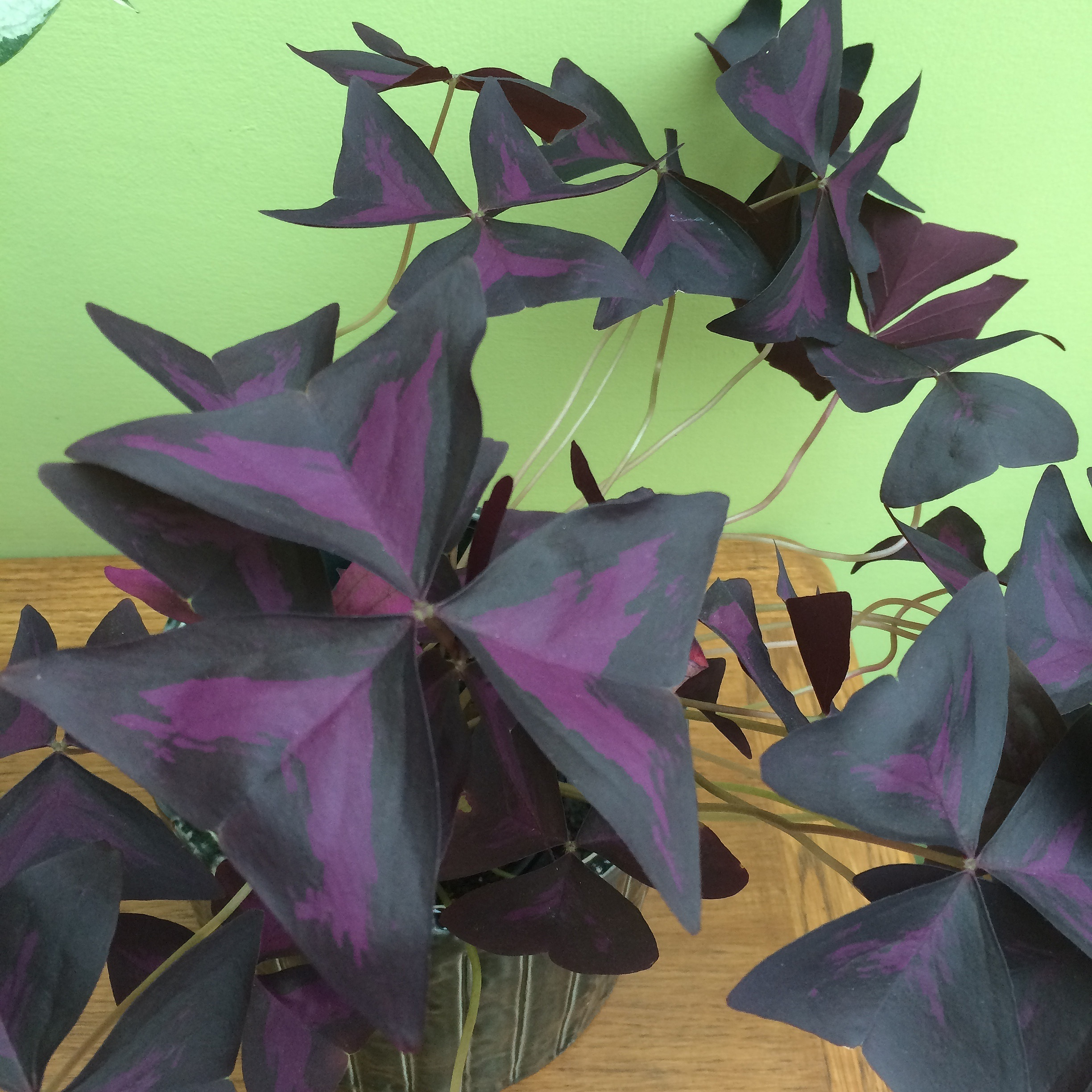 The leaves of  Oxalis triangularis  are edible and delicious - a bit like sorrel but sweeter and even more lemony! Photograph: Jane Perrone.