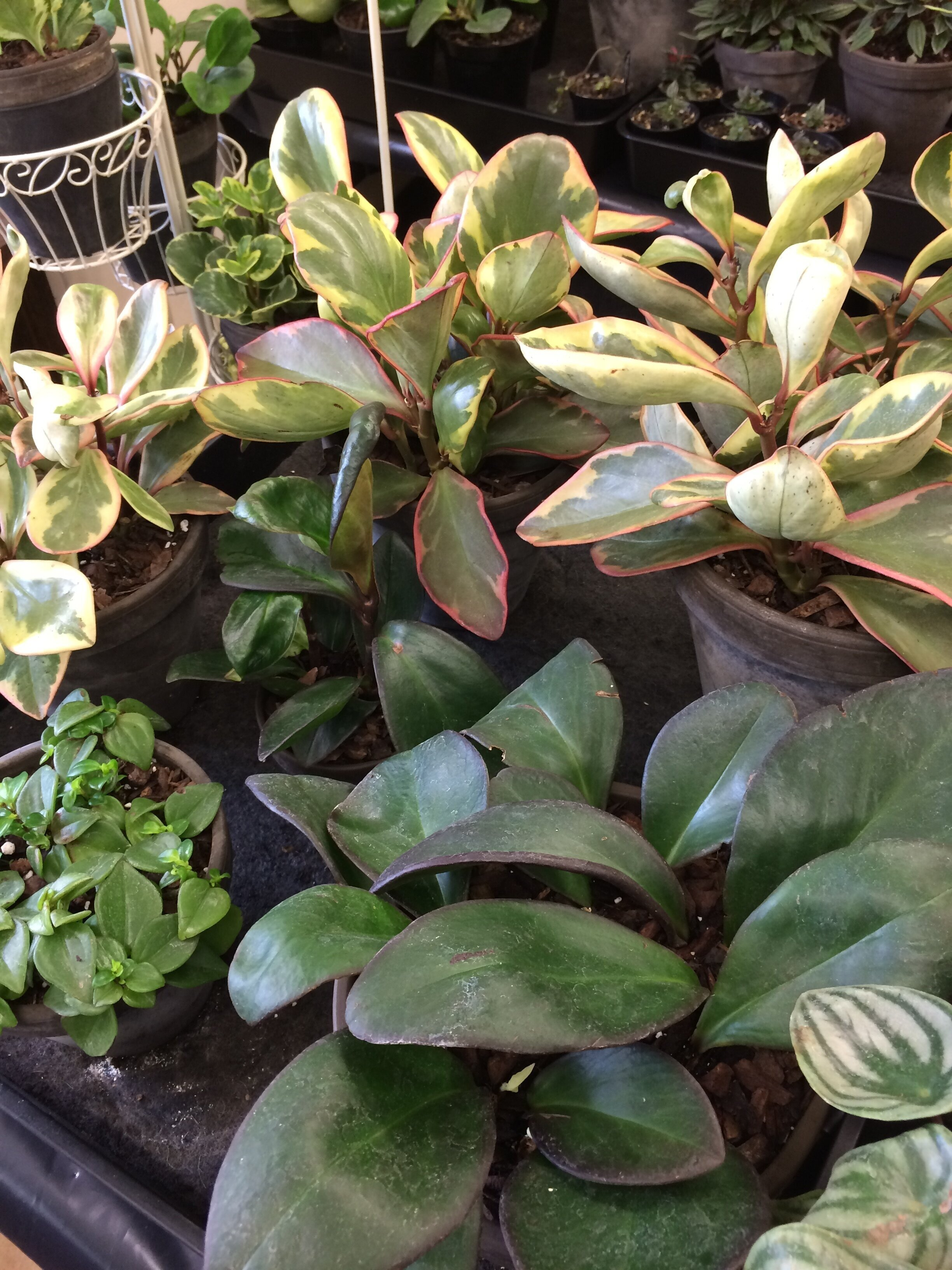 Some of Sally's Peperomia cultivars. Photograph: Jane Perrone.