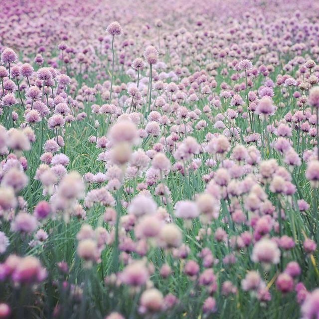 ベタ #lavender #ラベンダー #ファーム富田 #青い池 #北海道 #暇つぶし #真駒内滝野霊園