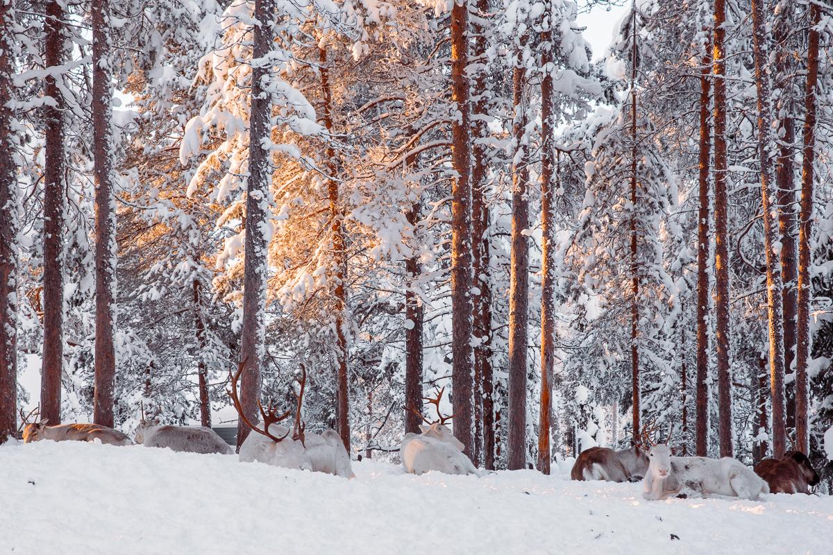 Finland Lapland Reindeer Bronwyn Townsend