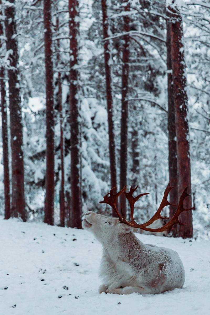 Reindeer Finland Lapland Bronwyn Townsend