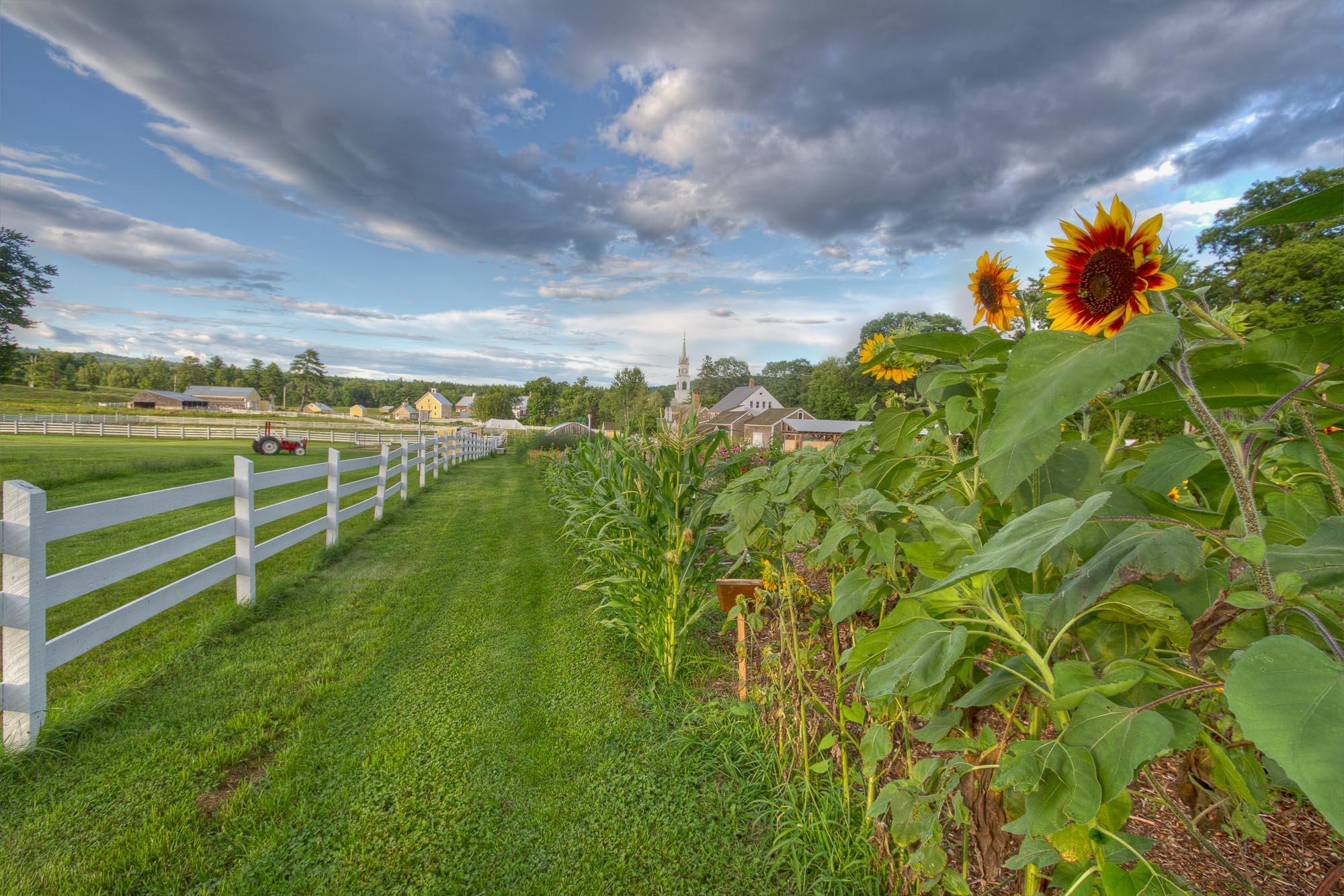 Remick Farm Sunflowers