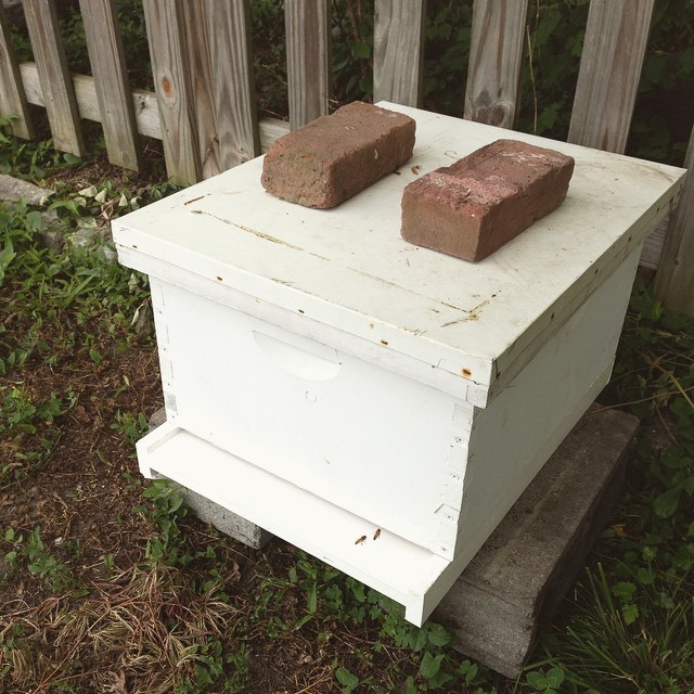 Teeny tiny swarm bees seem to like their new digs!  (at Growing Places Indy)