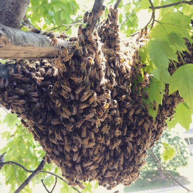 It's swarm season! (at Growing Places Indy Slow Food Garden at Cottage Home)