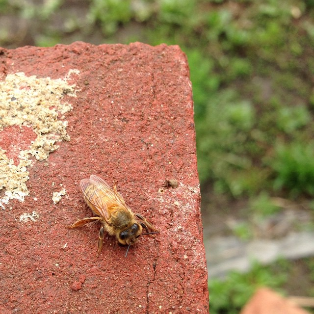 This little worker bee seemed a bit lethargic and confused, hopefully just a little dizzy from this morning's hail storm. (at Chase Near Eastside Legacy Center)