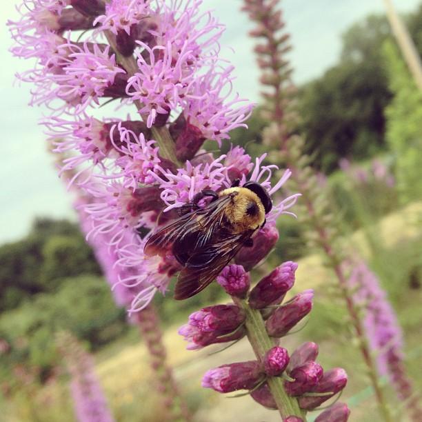 Pollinators-a-plenty. (at Butler Campus Farm and Bee Hive)