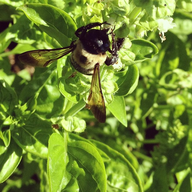 Bumbling.  (at Growing Places Indy Slow Food Garden at Cottage Home)