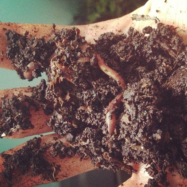 my new pets. #wormfarm (at the conservatory)