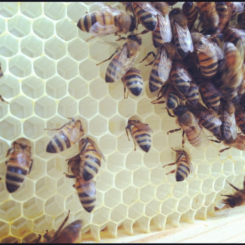 viewfrom216 :     Ladies drawing comb in the honey super!! #beekeeping #honeybees #bees (Taken with  Instagram )