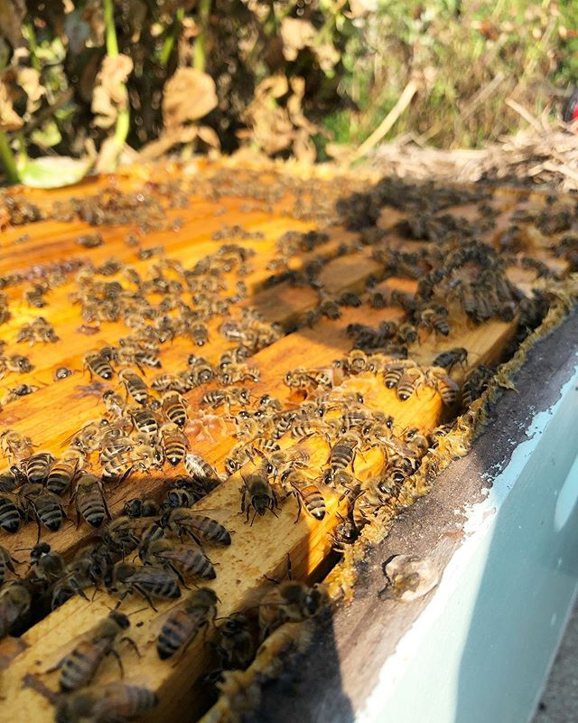 Is it fall yet?! Still many drones in the hive, but their days are numbered. #timesup
