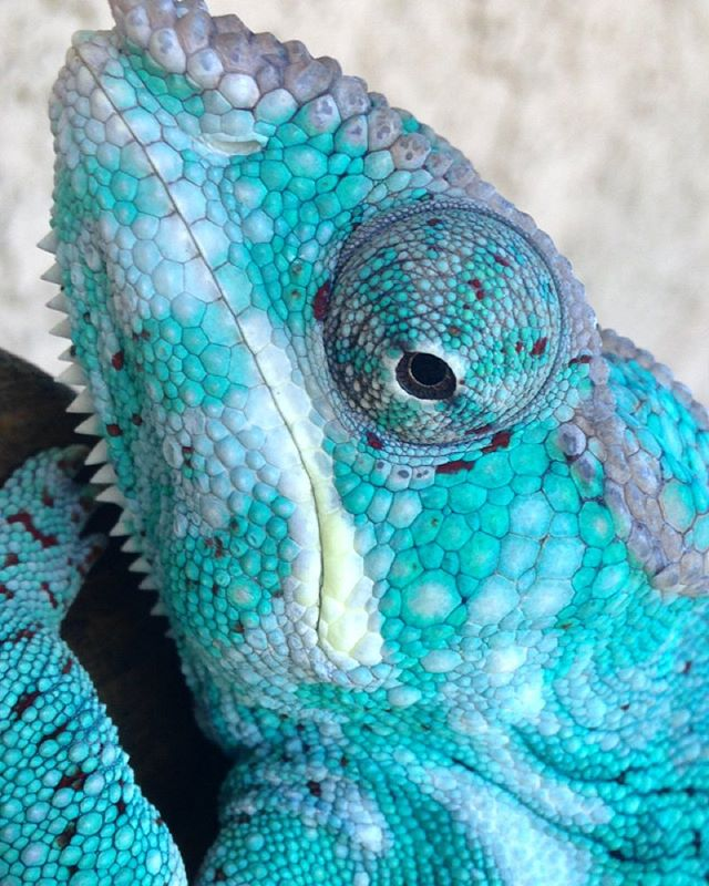 Bright colors, weird personality #nosyfaly #nosyfalypantherchameleon  #faly #madagascar  #chappie #chameleon #pantherchameleon  #blue #turquoise #blueintheface