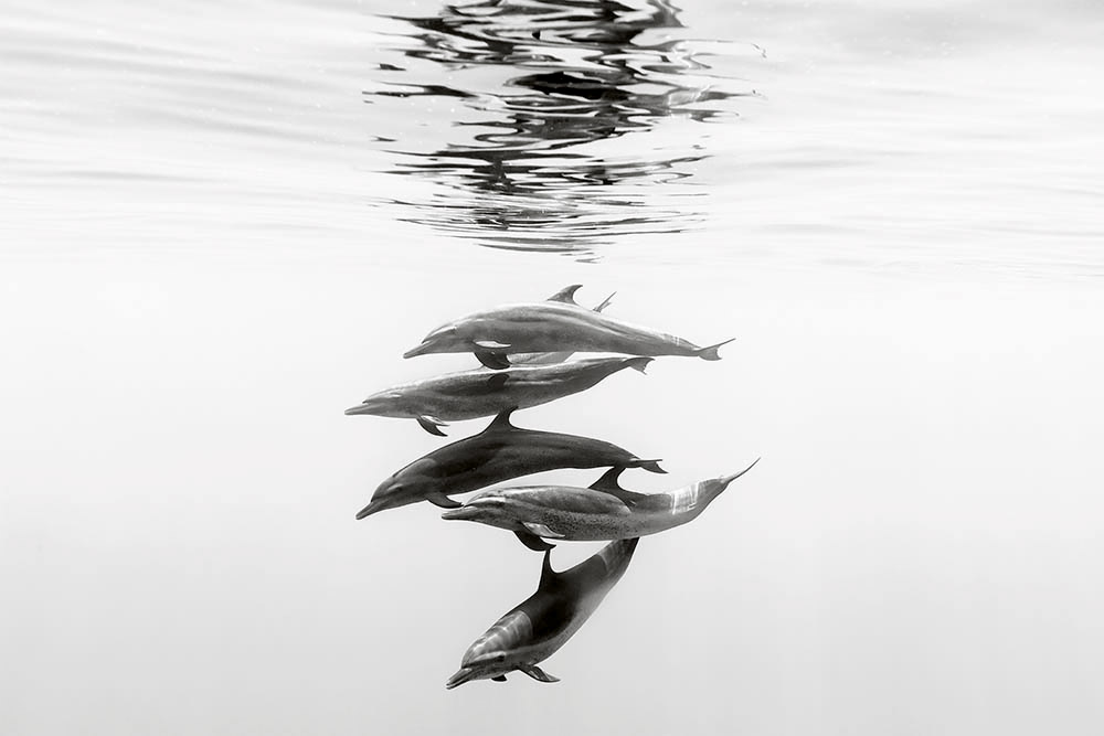 A portrait of dolphins swimming off the coast of Ixtapa in Mexico. Photograph by Christian Vizl.