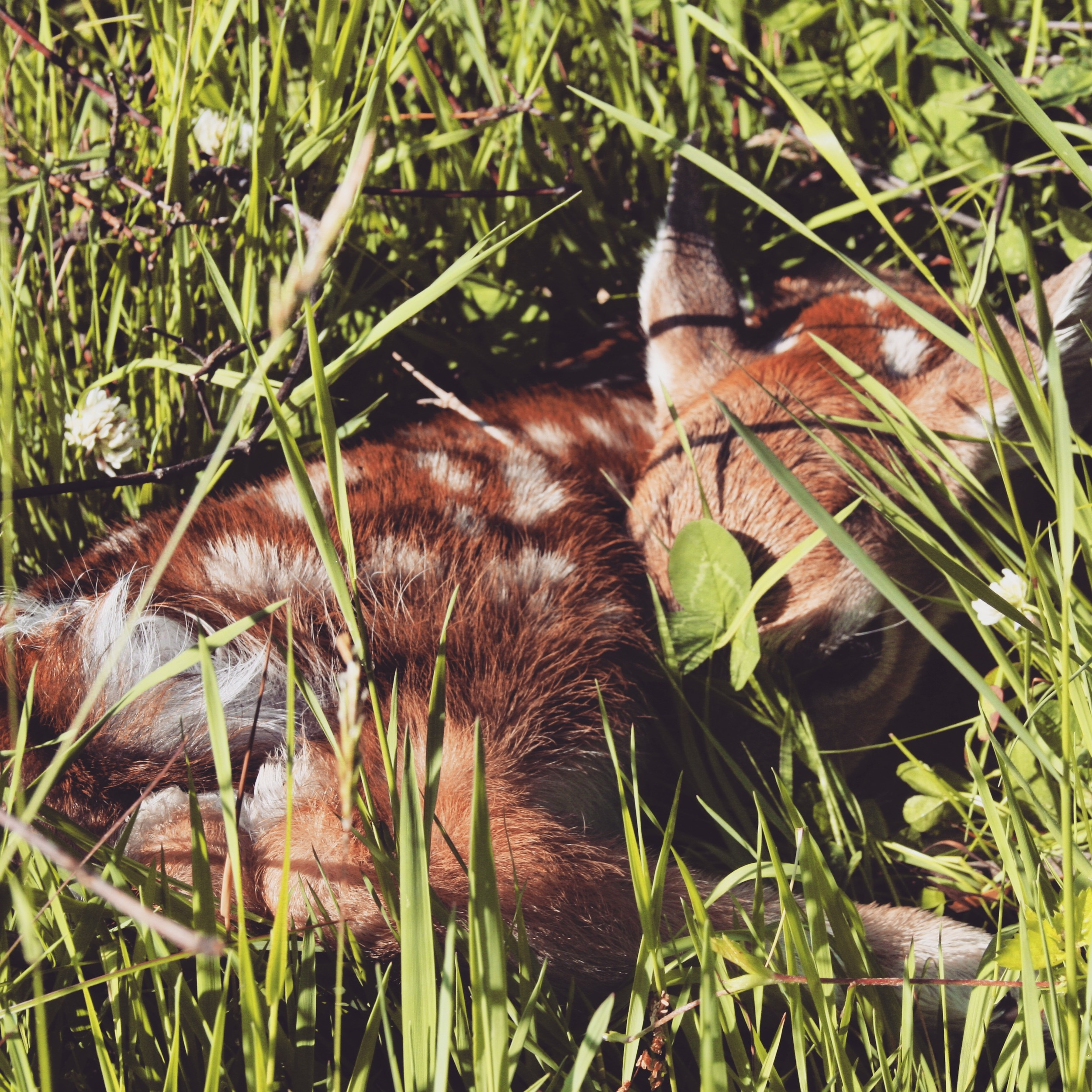 baby deer resting in farm field.jpg