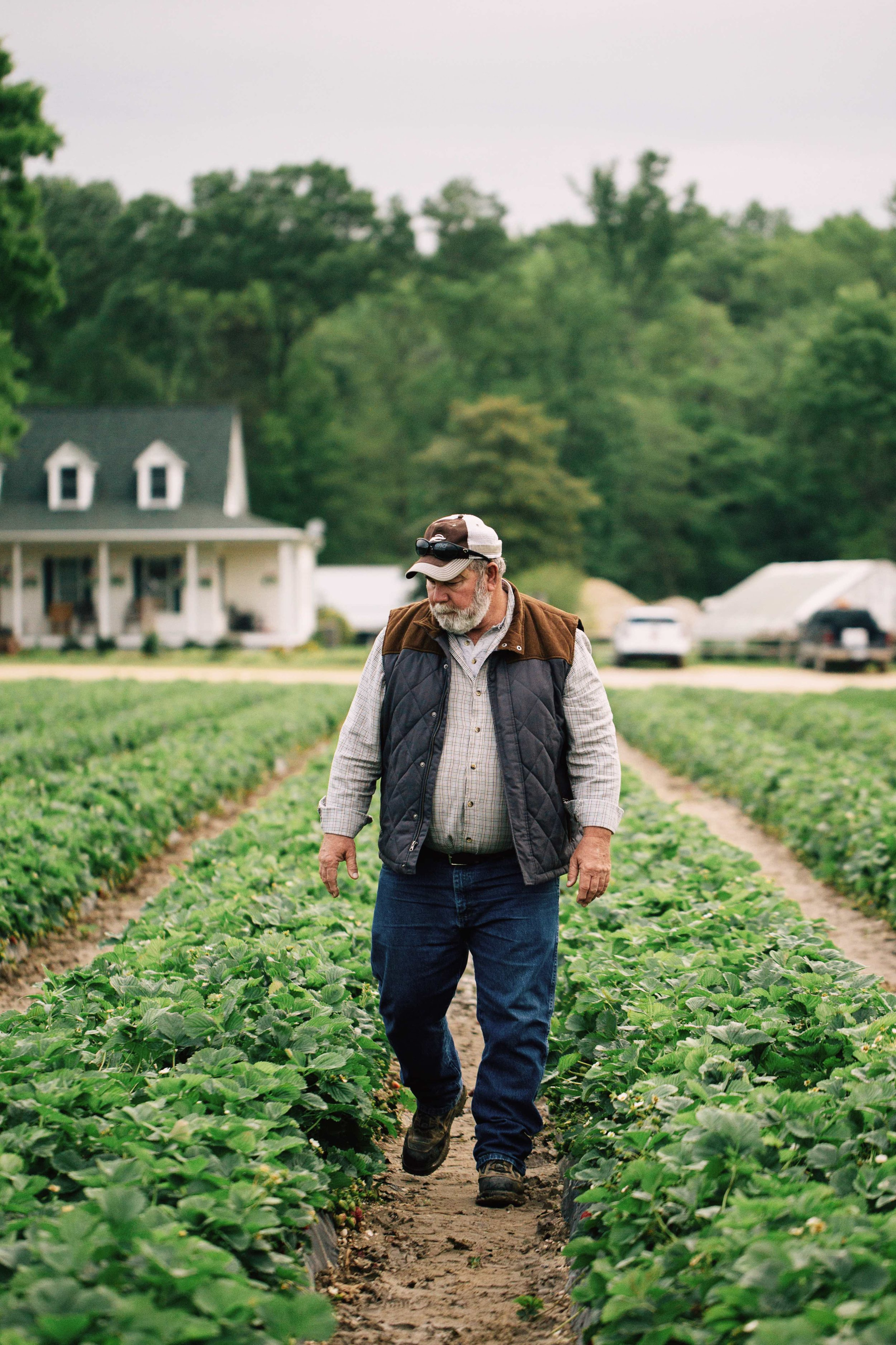 russell shlagel walks down rows of his prized strawberries where tobacco once grew. once a tobacco farm in charles county maryland, shlagel farms is now known for its high quality produce.