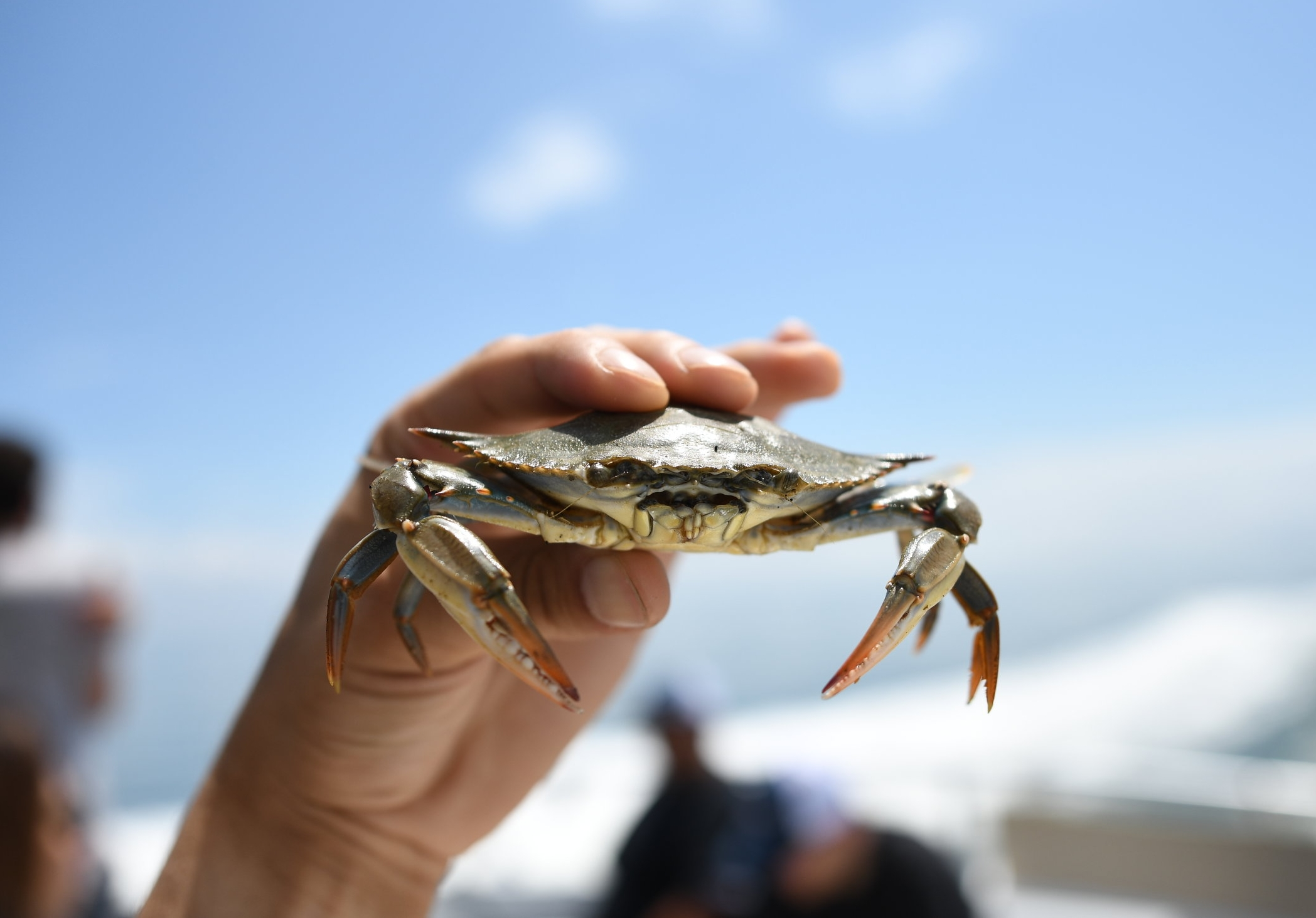 A Maryland Blue crab.