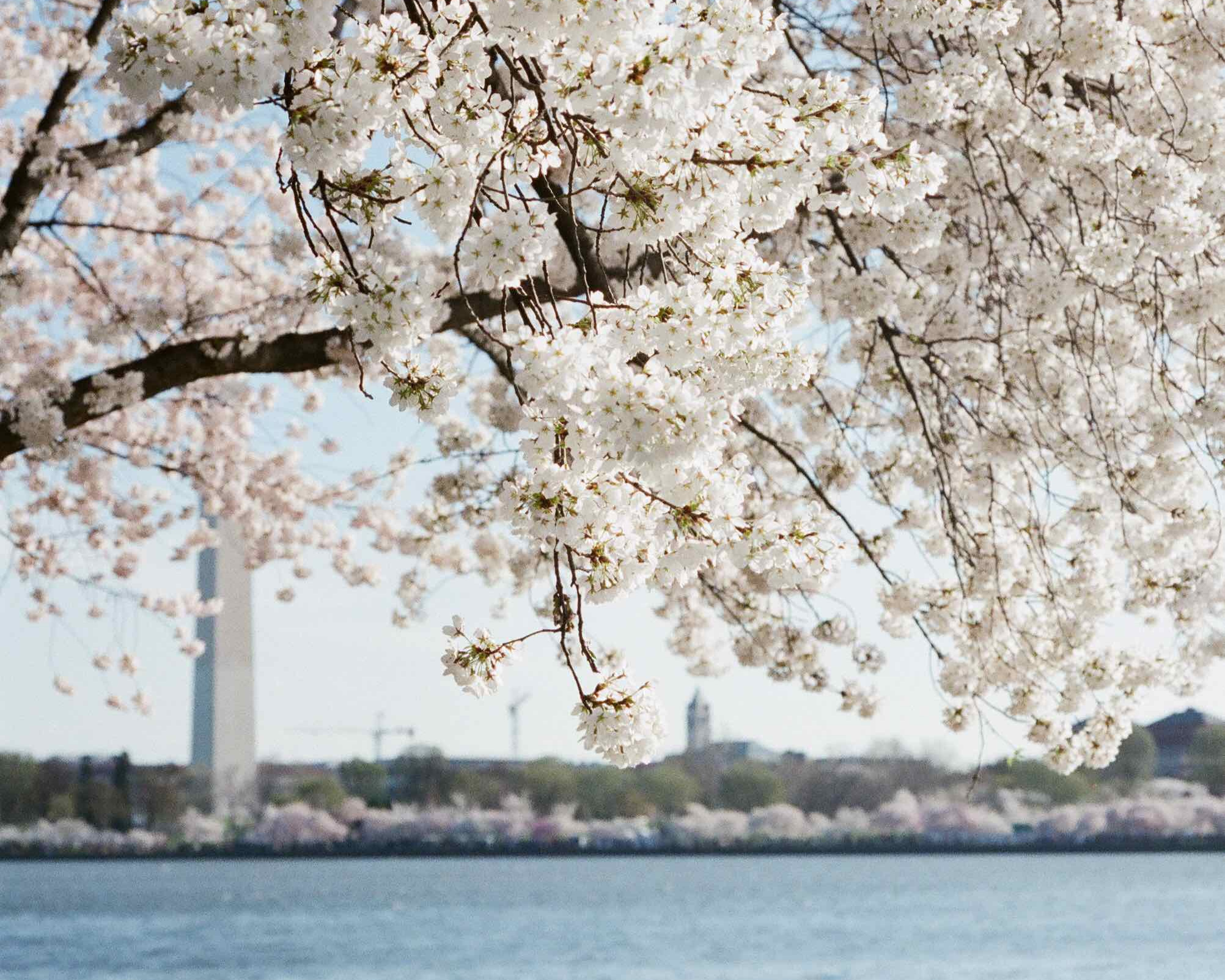The Tidal Basin full bloom. Photo by Hannah Hudson.