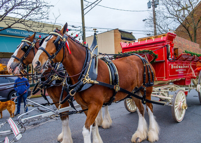 The Military Bowl parade brings the beloved Budweiser Clydesdales to town.