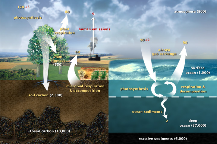 This diagram of the fast carbon cycle shows the movement of carbon between land, atmosphere, and oceans. Yellow numbers are natural fluxes, and red are human contributions in gigatons of carbon per year. White numbers indicate stored carbon. (adapted from U.S. DOE, Biological and Environmental Research Information System.)